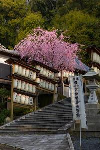 2021桜咲く京都 六所神社のしだれ桜 - 花景色-K.W.C. PhotoBlog
