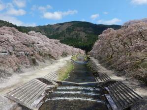 鮎河千本桜 -