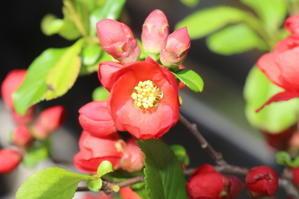 木瓜の花 -