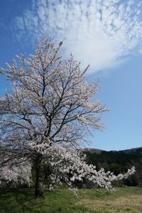 一乗谷朝倉氏遺跡、桜満開 - Turfに魅せられて・・・(写真紀行)