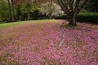 桜の落花の風景奈良公園 - 峰さんの山あるき