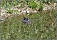クサシギも水浴びしてる - 野鳥の素顔 <野鳥と日々の出来事>
