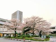 お花見散歩 (武蔵浦和~中浦和の辺り) - so much Life