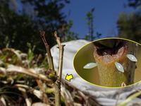 キタキチョウの産卵 - 秩父の蝶