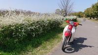 カブと桜 - ちまんじのカブ日記