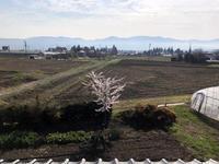 我家の桜と光城山の桜 - 安曇野建築日誌