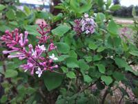 リラの花 - だんご虫の花