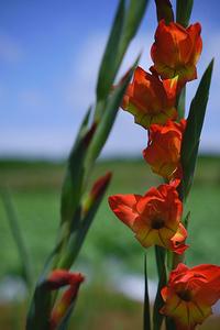 wild gladiolus - My Own Way