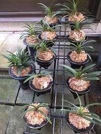 富貴蘭の植え替え - しらこばとWeblog