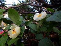 春の大江高山②*ギフチョウ* - 清治の花便り