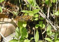 撮れて嬉しやサカハチチョウ - 呑むさん蝶日記