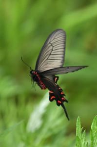 ジョウアゲハ・・・飛翔 - 続・蝶と自然の物語