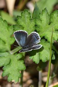 ツバメシジミ・…春の♀開翅 - 続・蝶と自然の物語