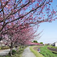 今年も桜 - アロマの専門店アロマティックグリーン