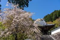 「善峯さんの山枝垂れ-京都西山善峯寺-」 - ほぼ京都人の密やかな眺め Excite Blog版