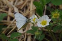 公園内の畑にて - 蝶と蜻蛉の撮影日記