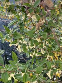 4月8日(木)上野池のグミ - 庄原市上野公園(上野池)とその周辺の出来事