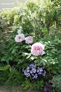 今年2021年の牡丹②バラもスクスクと - バラとハーブのある暮らし Salon de Roses