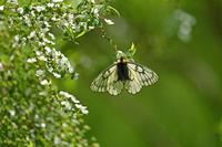 ウスバシロチョウ少年の日の思い出 - 蝶のいる風景blog