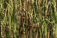カイツブリ - 池のフォト遊び