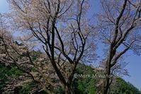 七福神桜 - Mark.M.Watanabeの熊本撮影紀行