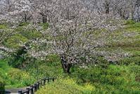 木山城址の桜 - Mark.M.Watanabeの熊本撮影紀行