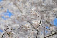 今年の桜(碓井琴平公園) - 今日は何処まで・2