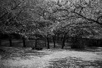 櫻の丘に流れる時間#0720210405 - Yoshi-A の写真の楽しみ
