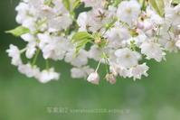 植物園に行く4月(2021年)8 - 写楽彩2