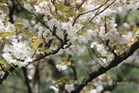 植物園に行く4月(2021年)11 - 写楽彩2