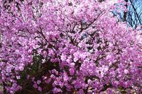 美し過ぎるアカヤシオツツジ!・・・4月7日赤城自然園では満開!快晴!だった♪ - 『私のデジタル写真眼』