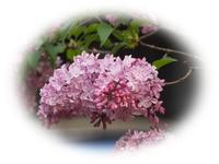 ライラックの花咲く - ひとりあそび