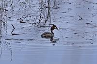 みちのく御所湖水鳥たち2 - みちのくの大自然