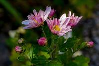 GXR 12 50mm F2.5 Macroで撮った花の写真 - LUZ e SOMBRA