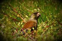 カワラヒワは地味な鳥です。 - なんでもブログ2