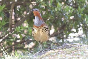 コジュケイ - マンナ野鳥写真