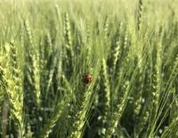穂麦と天道虫 - 手のじ行くバイ