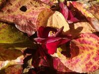 春の落ち葉… - 侘助つれづれ