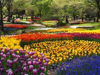 昭和記念公園のチューリップが満開 - ひつじのつぶやき