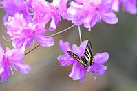 Spring ephemeral春の女神♪<岐阜蝶> - 風のむろさん 自然の詩
