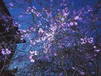 ★昨夜の実家の枝垂れ桜のライトアップ - 羽根をつけて