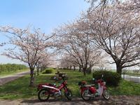 ダブルカブと桜♪ - ちまんじのカブ日記