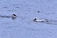 みちのく御所湖水鳥たち3 - みちのくの大自然