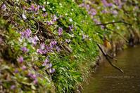 カタクリ開花中 - 野沢温泉とその周辺いろいろ2