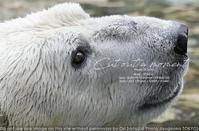 カメラと動物園と。sony α1+ SEL70200GMでズーラシアのシロクマ ジャンブイさんのつぶらな瞳をキャッチ 実写 - さいとうおりのお気に入りはカメラで。