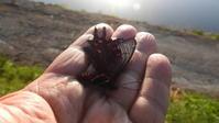 ジャコウアゲハアマガエル - 虫のひとりごと