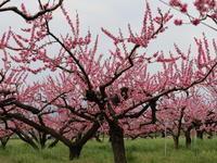 近在で撮った花たち (2021/4/3 5 8 撮影) - toshiさんのお気楽ブログ