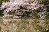 202年の桜・・・三島大社 - ウィンパパのフォトライフ(2)