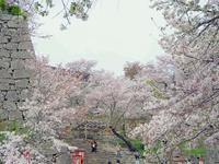 鶴山公園の桜 - つれづれ日記Ⅱ