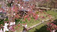 桜のしべ - Tea's  room  あっと Japan